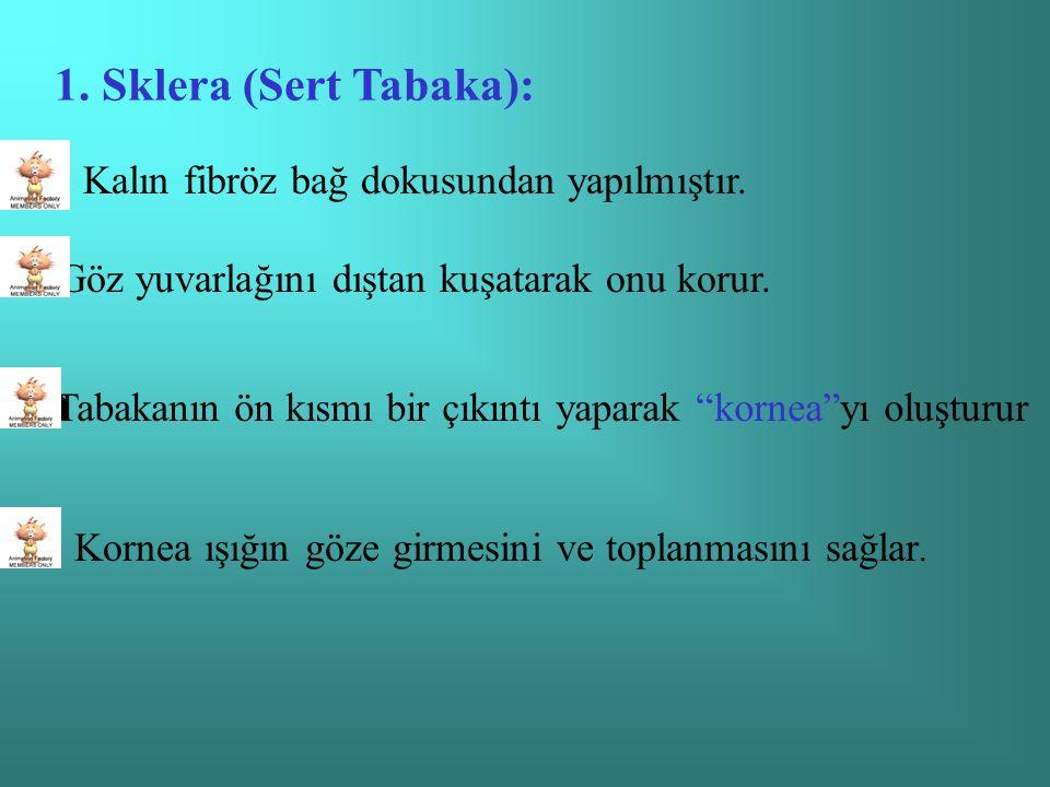 1.Sklera (Sert Tabaka):  Kalın fibröz bağ dokusundan yapılmıştır.