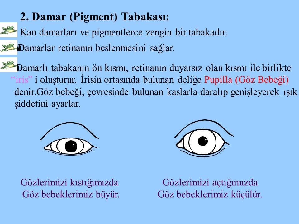 2. Damar (Pigment) Tabakası:  Kan damarları ve pigmentlerce zengin bir tabakadır.  Damarlar retinanın beslenmesini sağlar.  Damarlı tabakanın ön kı