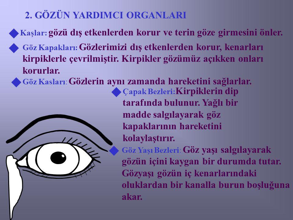 2. GÖZÜN YARDIMCI ORGANLARI Kaşlar: gözü dış etkenlerden korur ve terin göze girmesini önler.   Göz Kapakları: Gözlerimizi dış etkenlerden korur, ke