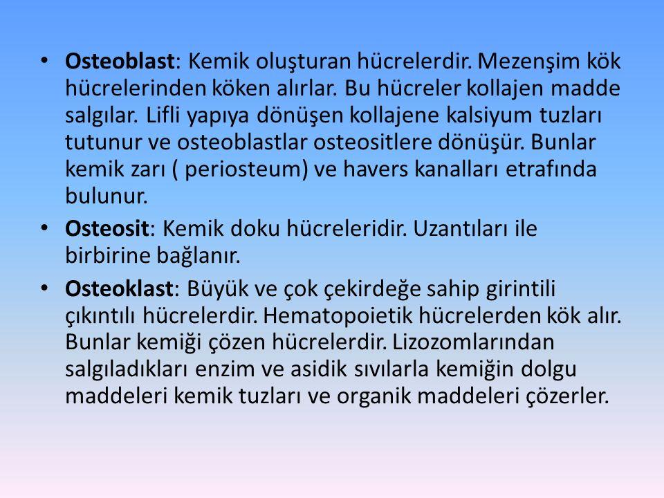 Osteoblast: Kemik oluşturan hücrelerdir. Mezenşim kök hücrelerinden köken alırlar.
