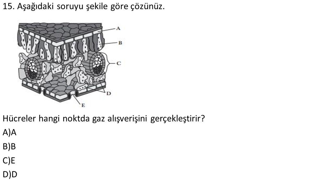 15. Aşağıdaki soruyu şekile göre çözünüz. Hücreler hangi noktda gaz alışverişini gerçekleştirir? A)A B)B C)E D)D