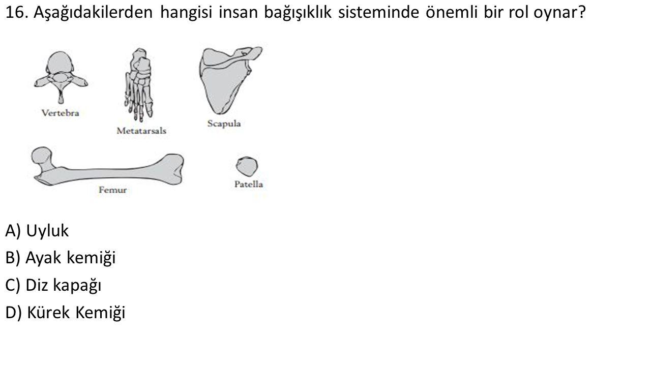 16. Aşağıdakilerden hangisi insan bağışıklık sisteminde önemli bir rol oynar? A) Uyluk B) Ayak kemiği C) Diz kapağı D) Kürek Kemiği