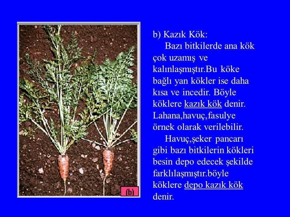 b) Kazık Kök: Bazı bitkilerde ana kök çok uzamış ve kalınlaşmıştır.Bu köke bağlı yan kökler ise daha kısa ve incedir.