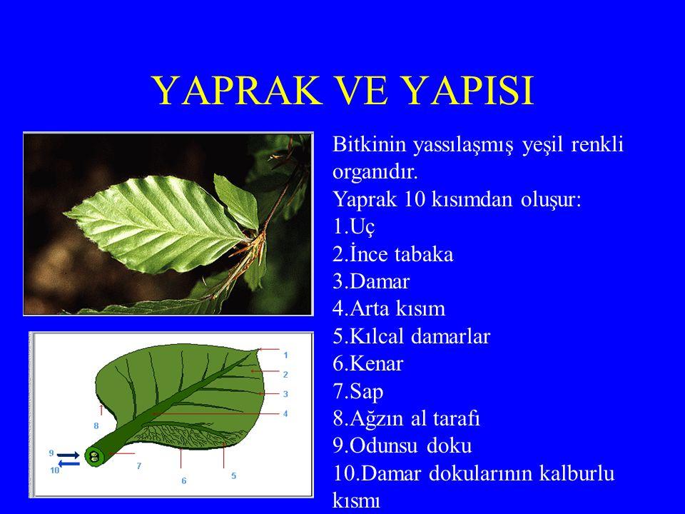 YAPRAK VE YAPISI Bitkinin yassılaşmış yeşil renkli organıdır.