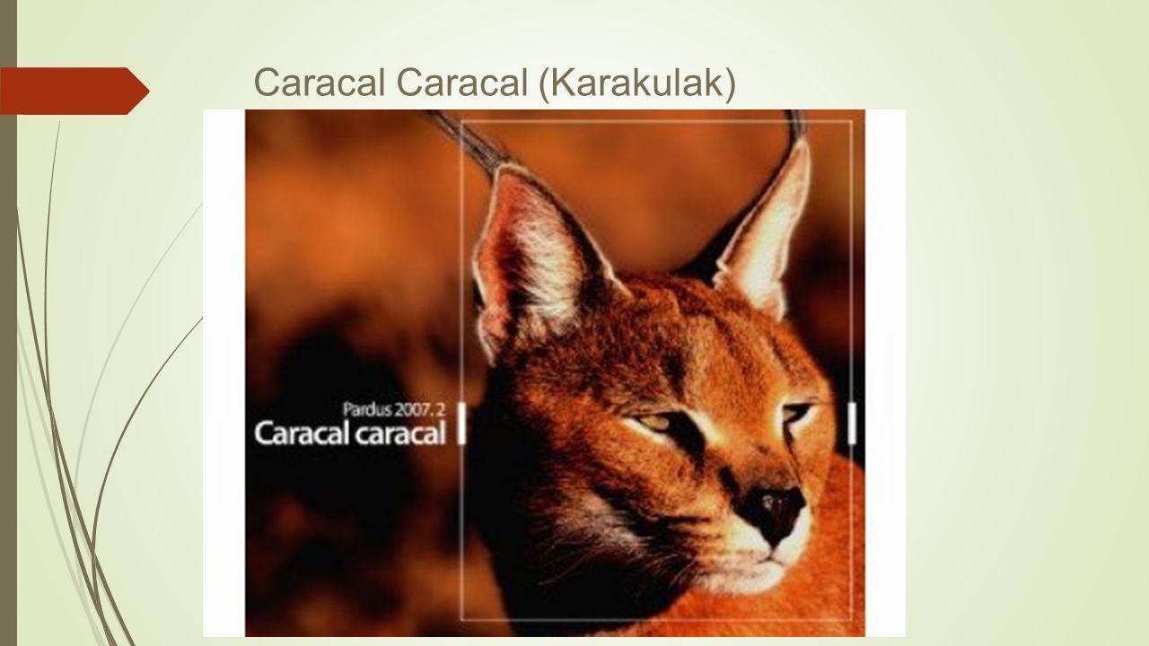 Caracal Caracal (Karakulak)