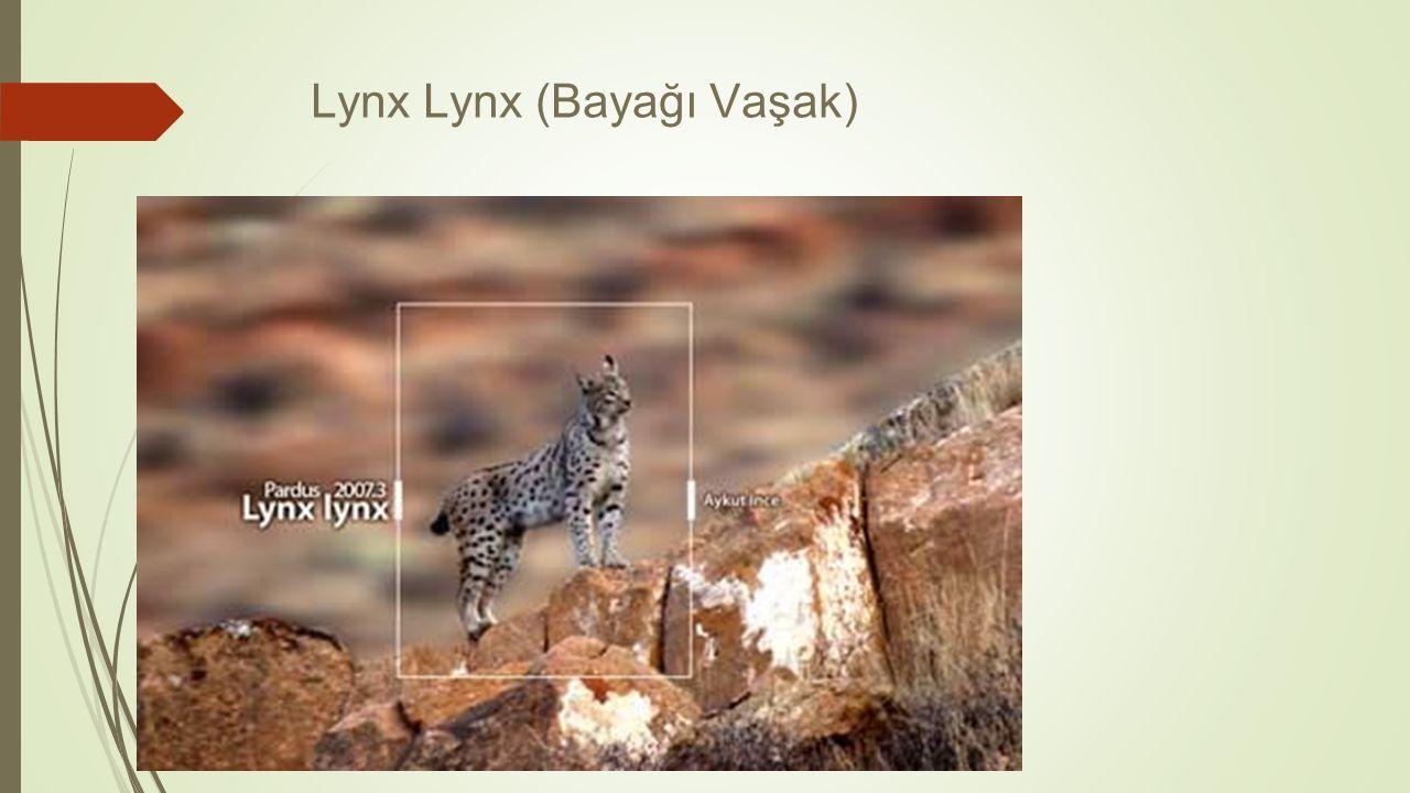 Lynx Lynx (Bayağı Vaşak)