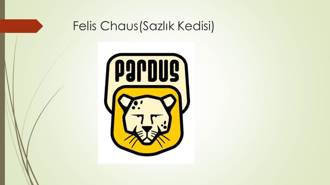 Felis Chaus(Sazlık Kedisi)