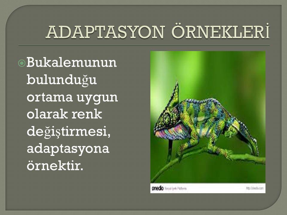  Bukalemunun bulundu ğ u ortama uygun olarak renk de ğ i ş tirmesi, adaptasyona örnektir.