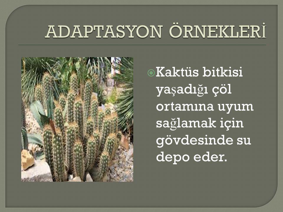  Kaktüs bitkisi ya ş adı ğ ı çöl ortamına uyum sa ğ lamak için gövdesinde su depo eder.