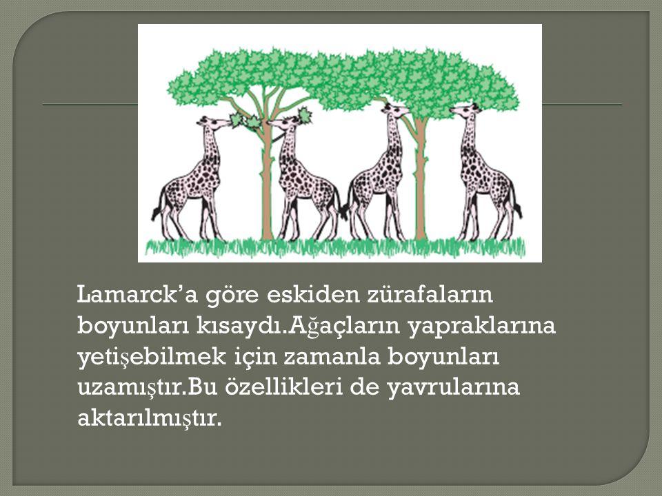 Lamarck'a göre eskiden zürafaların boyunları kısaydı.A ğ açların yapraklarına yeti ş ebilmek için zamanla boyunları uzamı ş tır.Bu özellikleri de yavrularına aktarılmı ş tır.