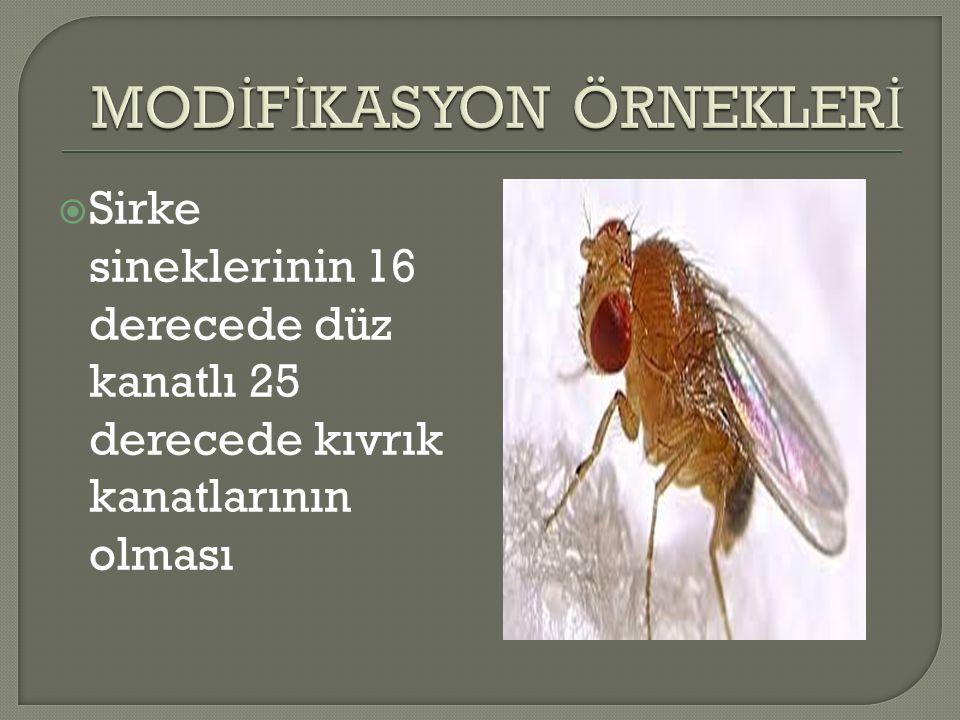  Sirke sineklerinin 16 derecede düz kanatlı 25 derecede kıvrık kanatlarının olması