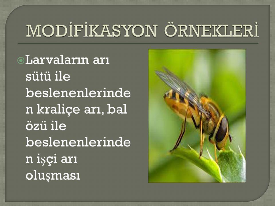  Larvaların arı sütü ile beslenenlerinde n kraliçe arı, bal özü ile beslenenlerinde n i ş çi arı olu ş ması