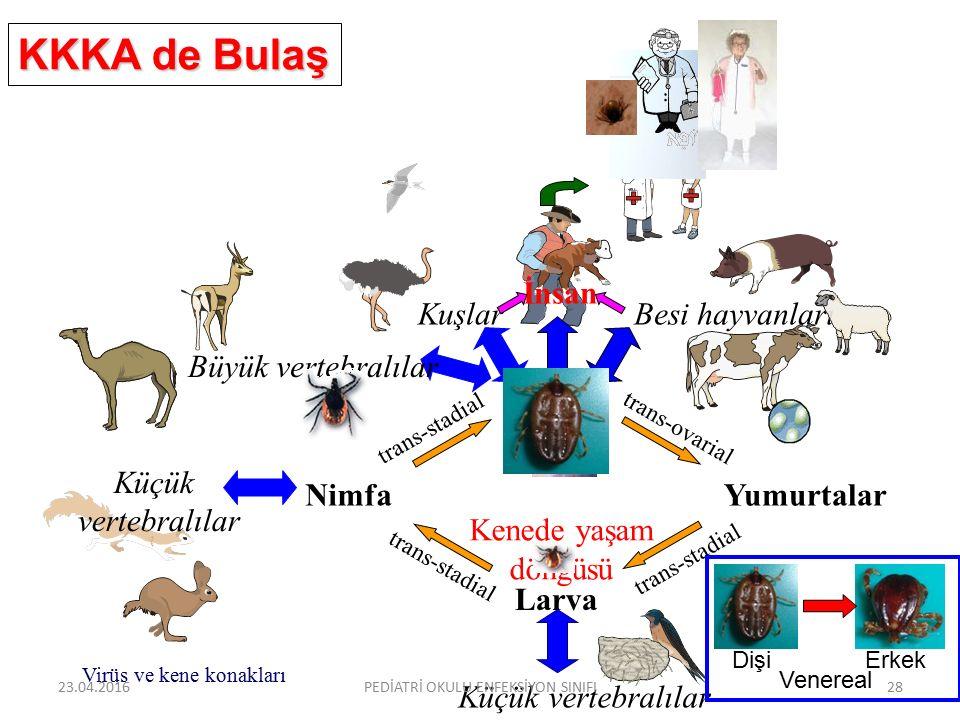 Larva Nimfa Erişkin Yumurtalar trans-ovarial trans-stadial İnsan Küçük vertebralılar Küçük vertebralılar KuşlarBesi hayvanları Kenede yaşam döngüsü Büyük vertebralılar Virüs ve kene konakları KKKA de Bulaş Dişi Erkek Venereal 23.04.2016PEDİATRİ OKULU ENFEKSİYON SINIFI28
