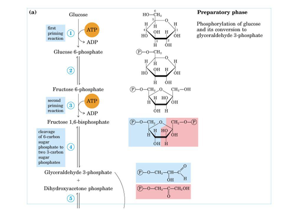55 BOS'ta enzimler, plazmadaki değişikliklerden etkilenmez; plazma enzimleri kan-beyin engelini aşıp BOS'a geçemez.