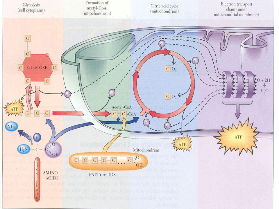 Beyin Biyokimyası Beyinde glikojen deposu çok azdır.