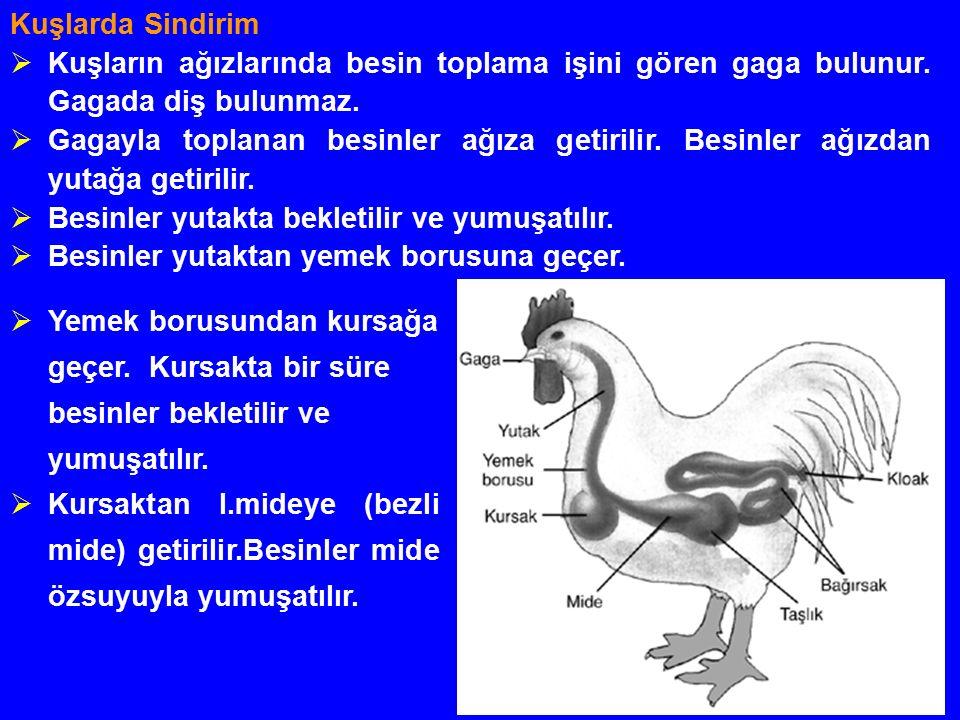 Kuşlarda Sindirim  Kuşların ağızlarında besin toplama işini gören gaga bulunur.