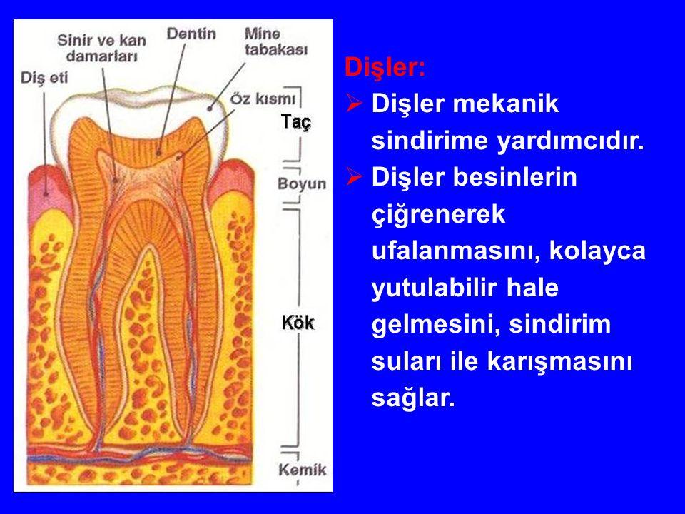 Dişler:  Dişler mekanik sindirime yardımcıdır.