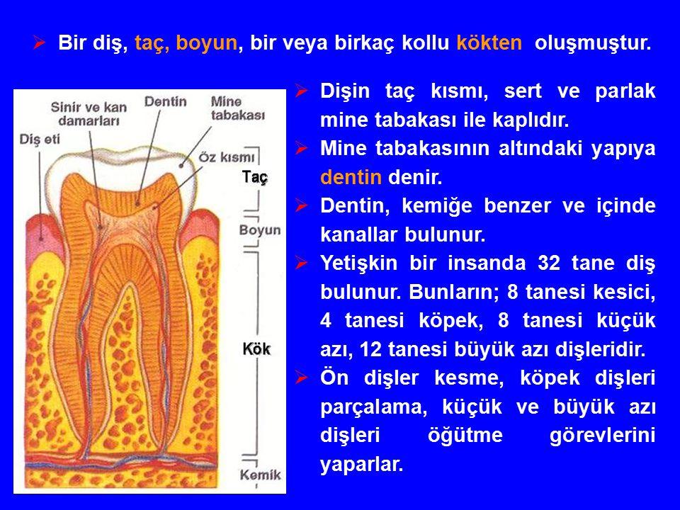  Dişin taç kısmı, sert ve parlak mine tabakası ile kaplıdır.
