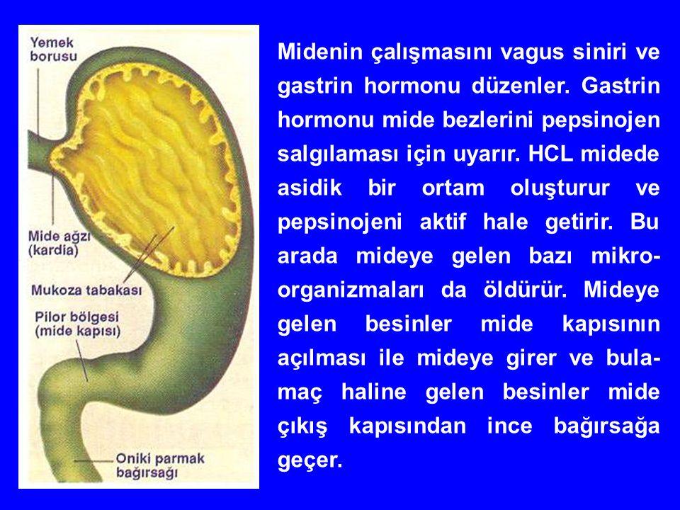 Midenin çalışmasını vagus siniri ve gastrin hormonu düzenler.