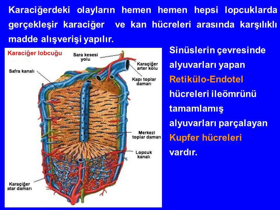 Karaciğerdeki olayların hemen hemen hepsi lopcuklarda gerçekleşir karaciğer ve kan hücreleri arasında karşılıklı madde alışverişi yapılır.