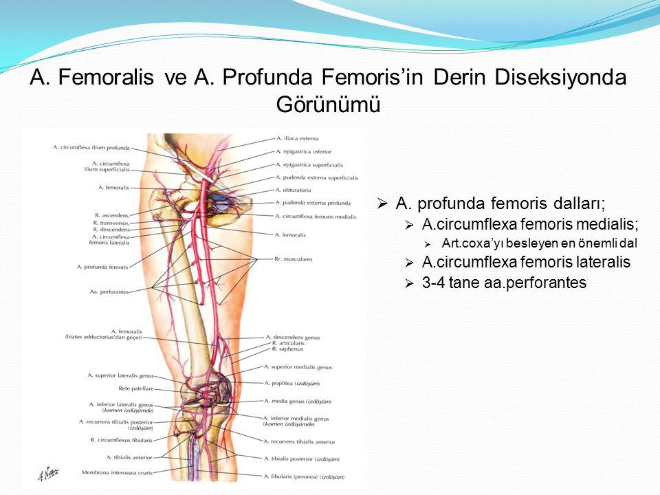 A. Femoralis ve A. Profunda Femoris'in Derin Diseksiyonda Görünümü  A. profunda femoris dalları;  A.circumflexa femoris medialis;  Art.coxa'yı besl