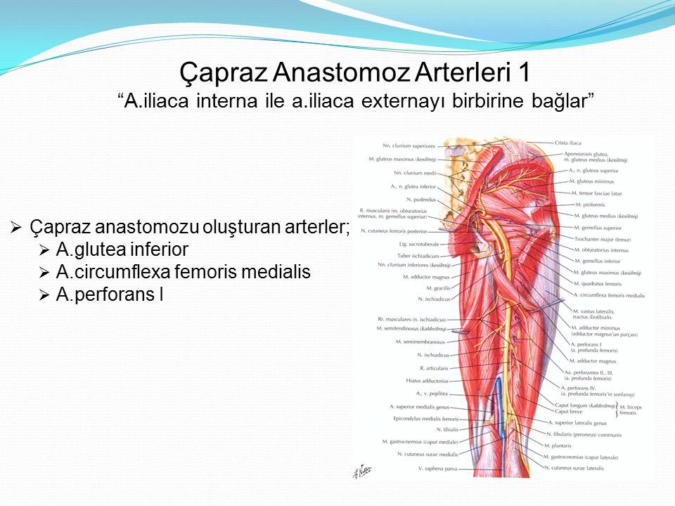 """Çapraz Anastomoz Arterleri 1 """"A.iliaca interna ile a.iliaca externayı birbirine bağlar""""  Çapraz anastomozu oluşturan arterler;  A.glutea inferior """