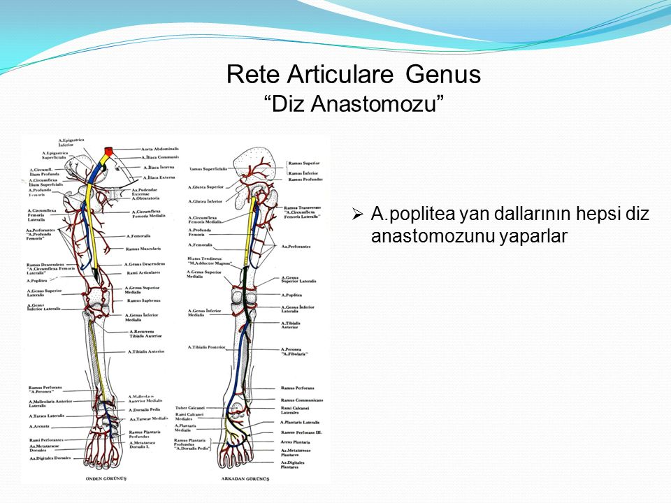 """Rete Articulare Genus """"Diz Anastomozu""""  A.poplitea yan dallarının hepsi diz anastomozunu yaparlar"""