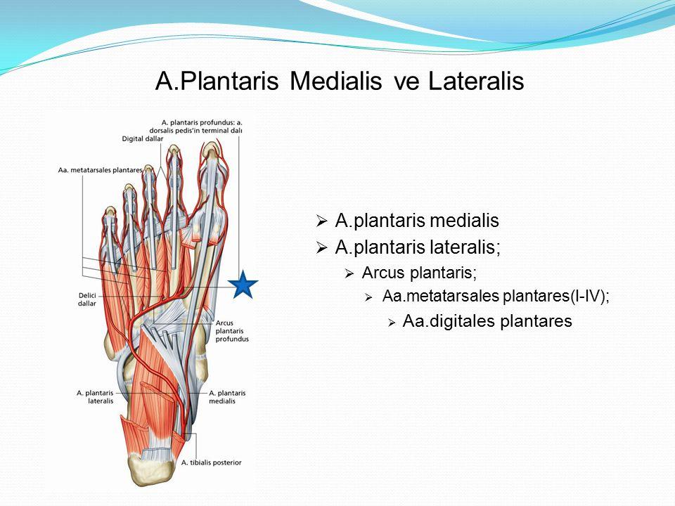 A.Plantaris Medialis ve Lateralis  A.plantaris medialis  A.plantaris lateralis;  Arcus plantaris;  Aa.metatarsales plantares(I-IV);  Aa.digitales