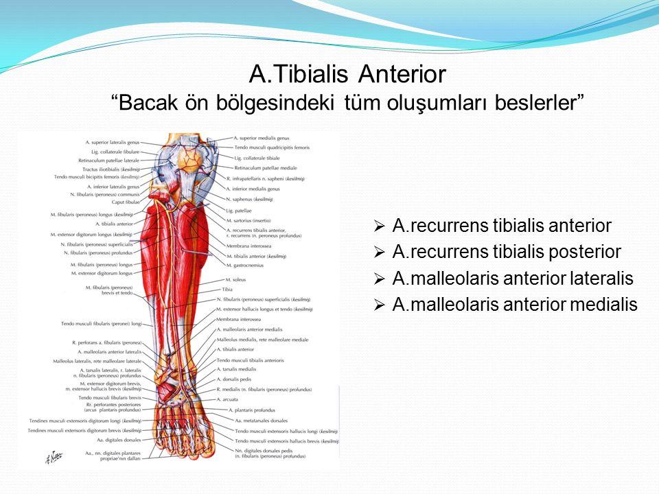 """A.Tibialis Anterior """"Bacak ön bölgesindeki tüm oluşumları beslerler""""  A.recurrens tibialis anterior  A.recurrens tibialis posterior  A.malleolaris"""