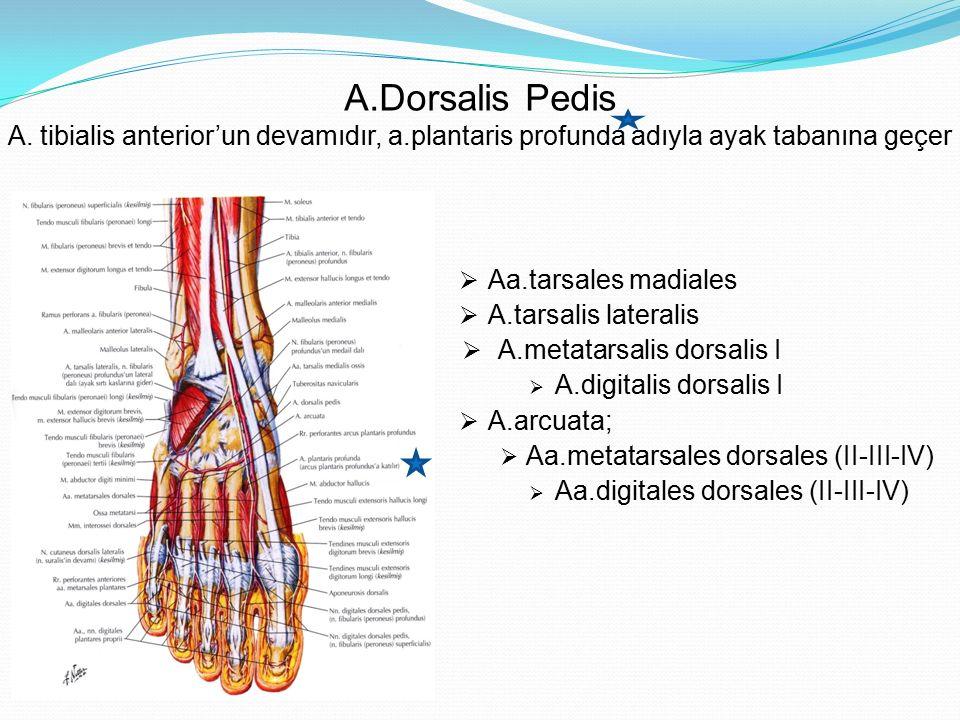 A.Dorsalis Pedis A. tibialis anterior'un devamıdır, a.plantaris profunda adıyla ayak tabanına geçer  Aa.tarsales madiales  A.tarsalis lateralis  A.