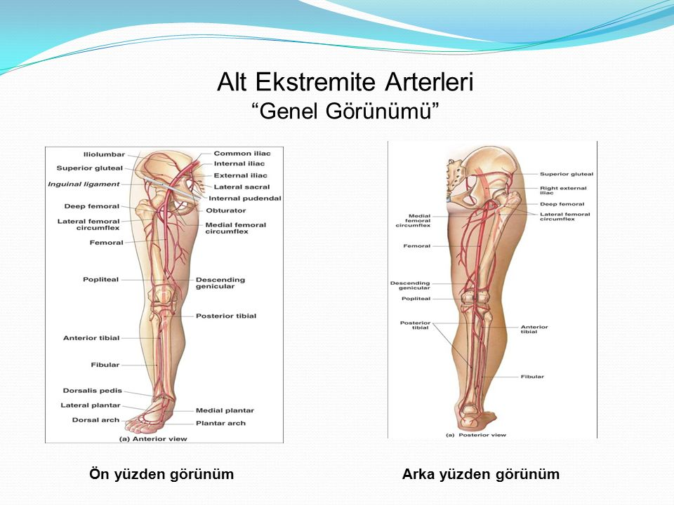 """Alt Ekstremite Arterleri """"Genel Görünümü"""" Ön yüzden görünümArka yüzden görünüm"""