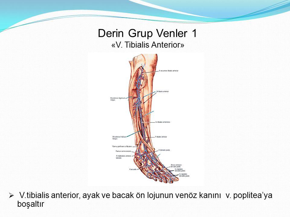 Derin Grup Venler 1 «V. Tibialis Anterior»  V.tibialis anterior, ayak ve bacak ön lojunun venöz kanını v. poplitea'ya boşaltır