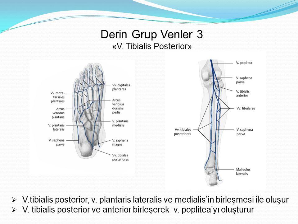 Derin Grup Venler 3 «V. Tibialis Posterior»  V.tibialis posterior, v. plantaris lateralis ve medialis'in birleşmesi ile oluşur  V. tibialis posterio