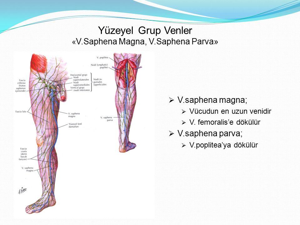 Yüzeyel Grup Venler « V.Saphena Magna, V.Saphena Parva»  V.saphena magna;  Vücudun en uzun venidir  V. femoralis'e dökülür  V.saphena parva;  V.p