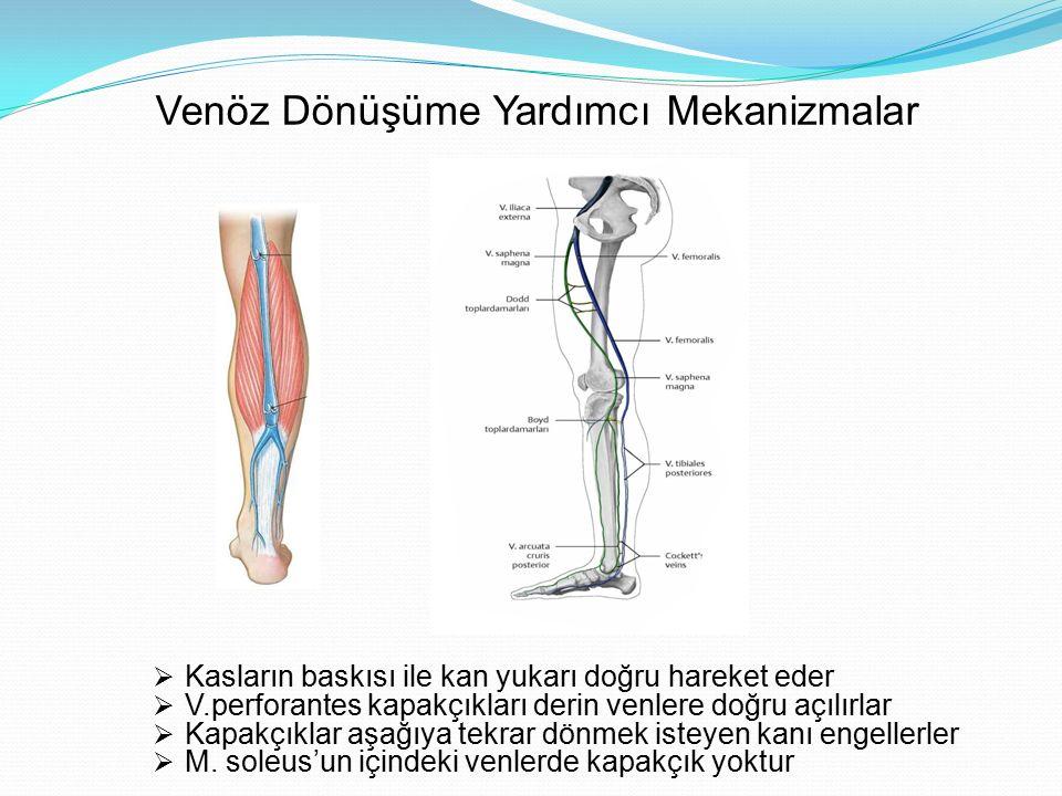 Venöz Dönüşüme Yardımcı Mekanizmalar  Kasların baskısı ile kan yukarı doğru hareket eder  V.perforantes kapakçıkları derin venlere doğru açılırlar 