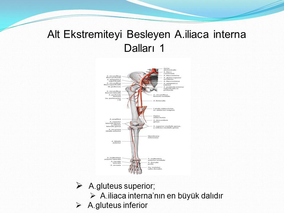 Alt Ekstremiteyi Besleyen A.iliaca interna Dalları 1   A.gluteus superior;  A.iliaca interna'nın en büyük dalıdır  A.gluteus inferior