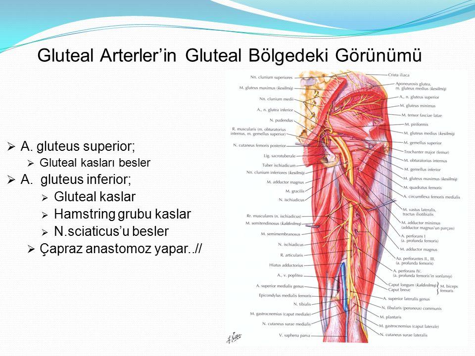 Gluteal Arterler'in Gluteal Bölgedeki Görünümü  A. gluteus superior;  Gluteal kasları besler  A. gluteus inferior;  Gluteal kaslar  Hamstring gru