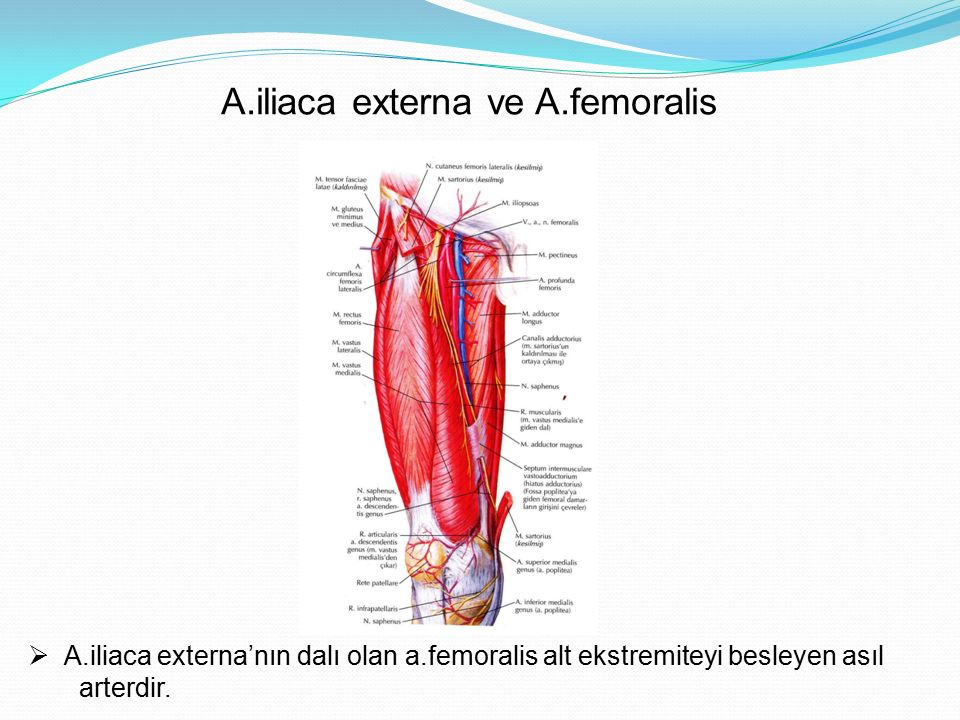 A.Femoralis Alt ekstremiteyi besleyen asıl arterdir  A.femoralis'in dalları;  A.pudenda externa süperficialis  A.pudenda externa profundus  A.epigastrica süperficialis  A.circumflexa iliaca superficialis  A.profunda femoris  A.