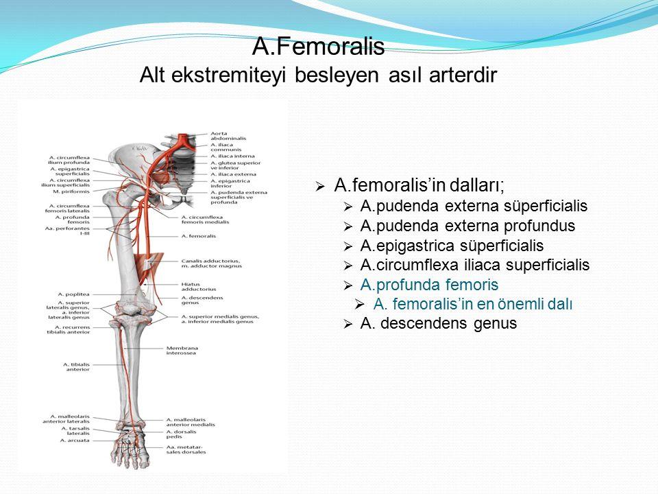 A.Femoralis Alt ekstremiteyi besleyen asıl arterdir  A.femoralis'in dalları;  A.pudenda externa süperficialis  A.pudenda externa profundus  A.epig