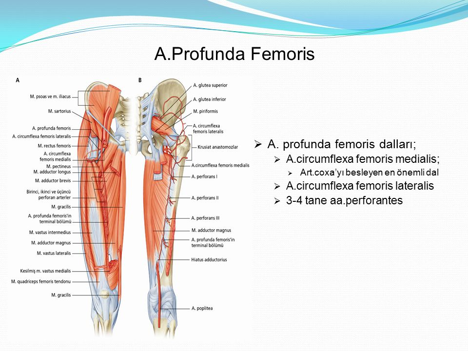 A.Profunda Femoris  A. profunda femoris dalları;  A.circumflexa femoris medialis;  Art.coxa'yı besleyen en önemli dal  A.circumflexa femoris later