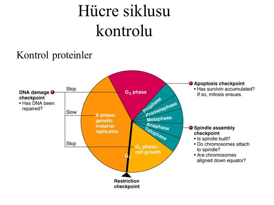 Hücre siklusu kontrolu Kontrol proteinler