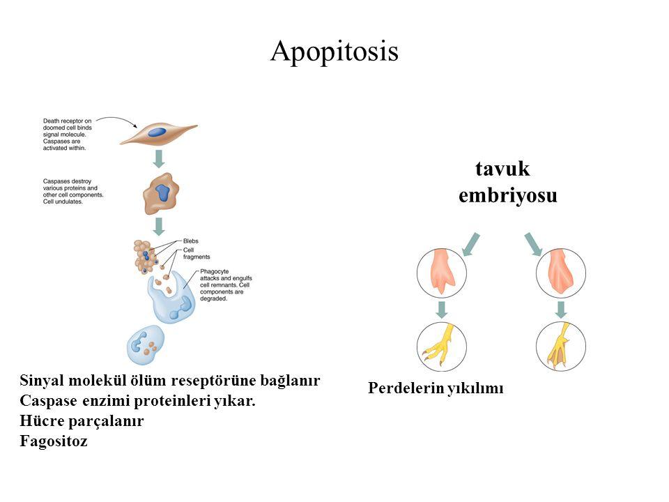 Apopitosis tavuk embriyosu Sinyal molekül ölüm reseptörüne bağlanır Caspase enzimi proteinleri yıkar.