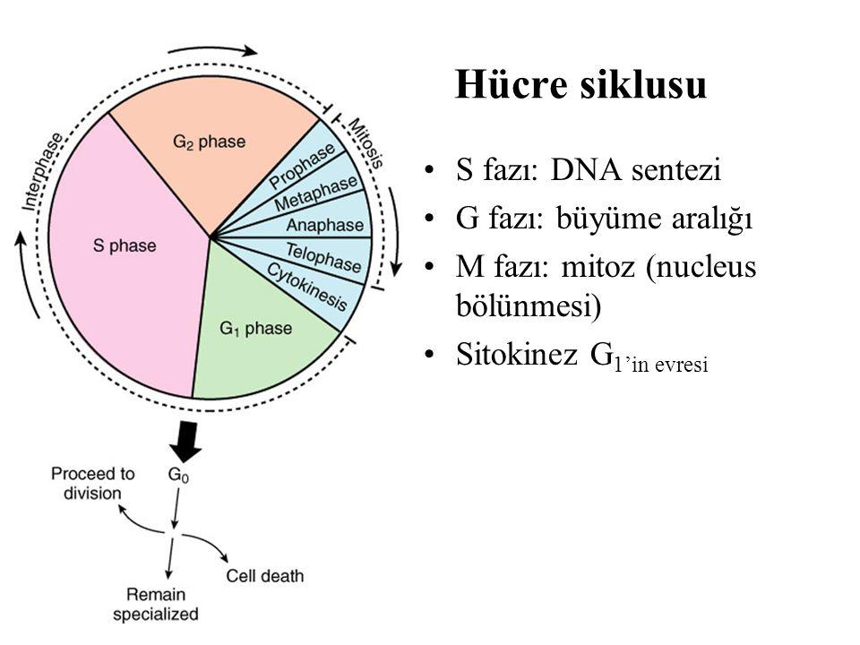 Hücre siklusu S fazı: DNA sentezi G fazı: büyüme aralığı M fazı: mitoz (nucleus bölünmesi) Sitokinez G 1'in evresi