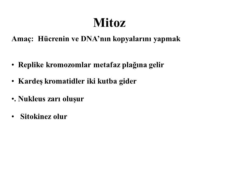 Mitoz Sitokinez olur Amaç: Hücrenin ve DNA'nın kopyalarını yapmak Kardeş kromatidler iki kutba gider.