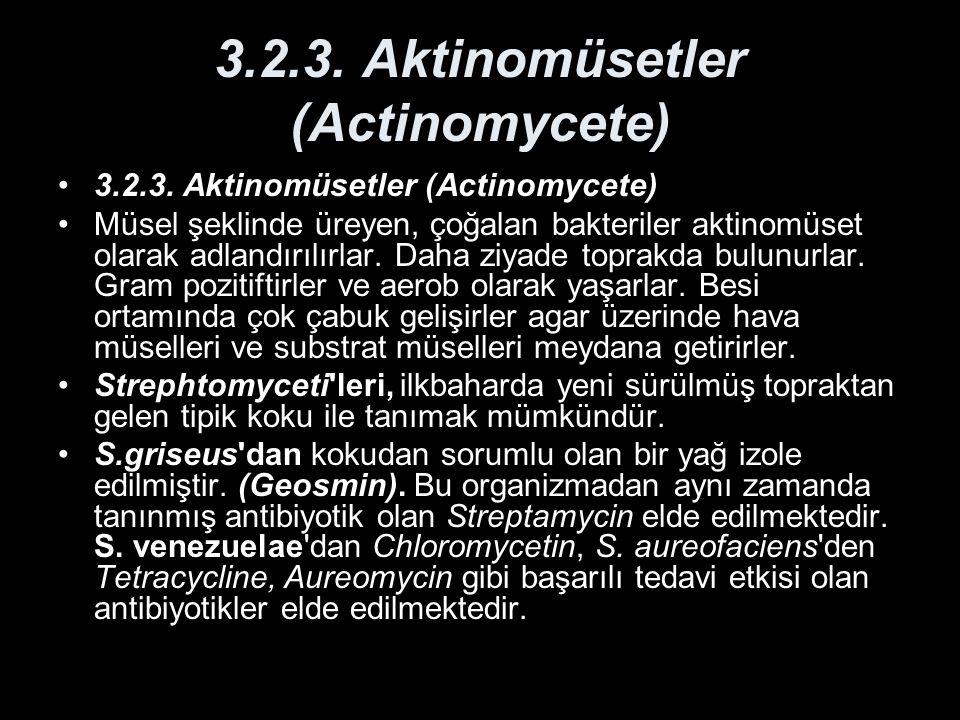 3.2.3. Aktinomüsetler (Actinomycete) Müsel şeklinde üreyen, çoğalan bakteriler aktinomüset olarak adlandırılırlar. Daha ziyade toprakda bulunurlar. Gr