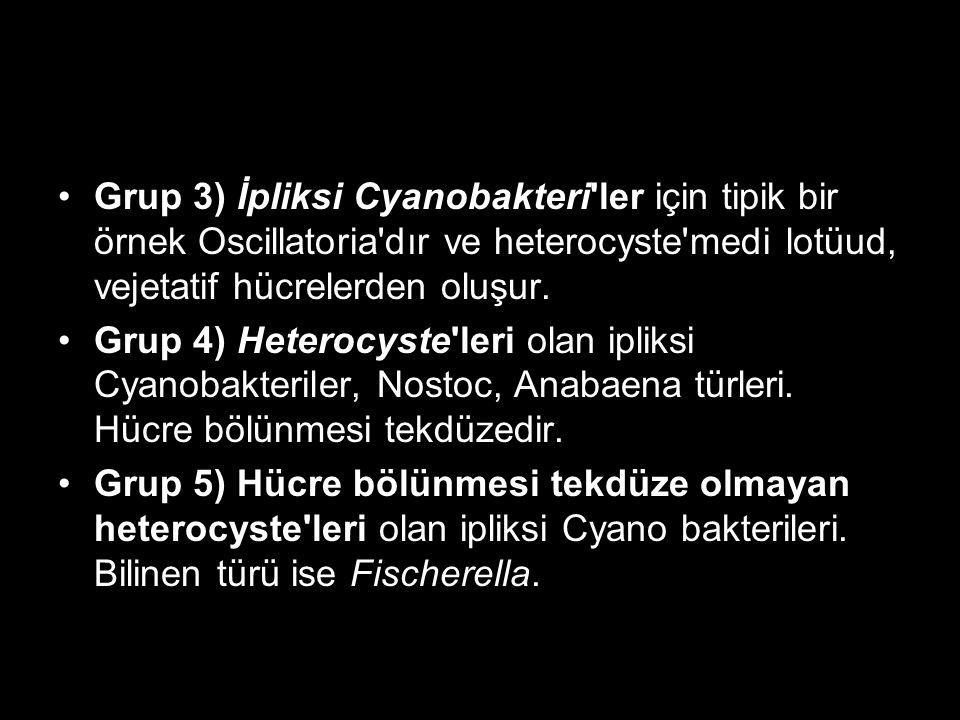 Grup 3) İpliksi Cyanobakteri'ler için tipik bir örnek Oscillatoria'dır ve heterocyste'medi lotüud, vejetatif hücrelerden oluşur. Grup 4) Heterocyste'l