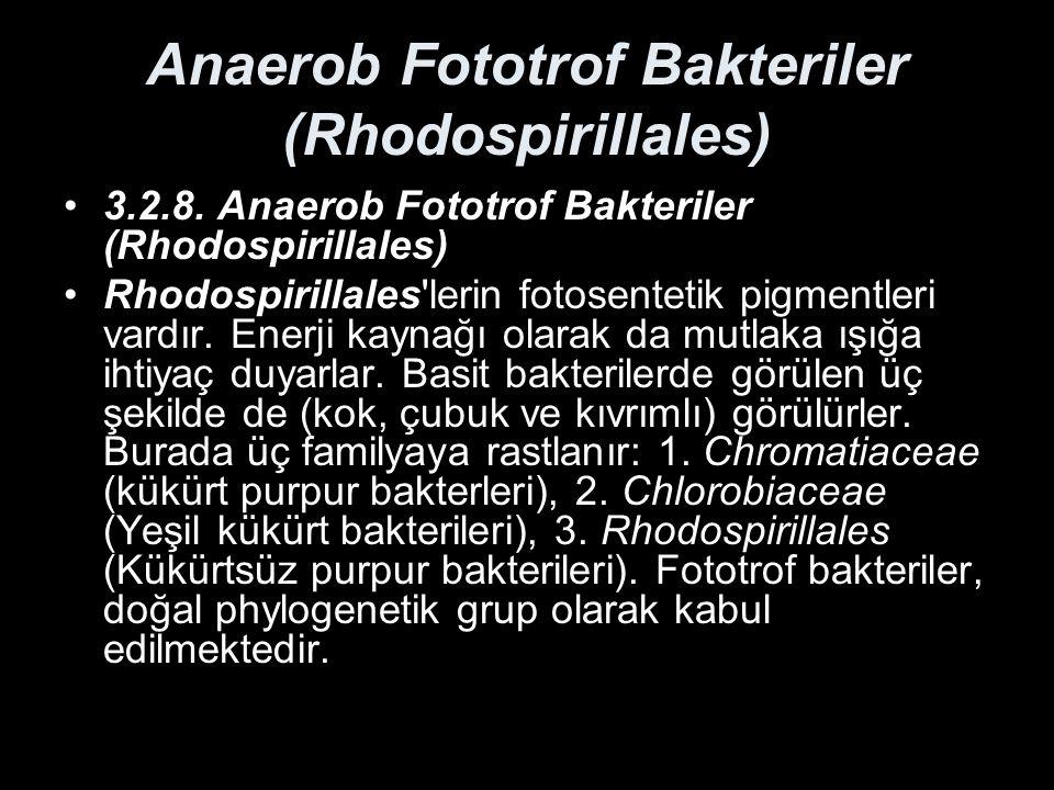 Anaerob Fototrof Bakteriler (Rhodospirillales) 3.2.8. Anaerob Fototrof Bakteriler (Rhodospirillales) Rhodospirillales'lerin fotosentetik pigmentleri v