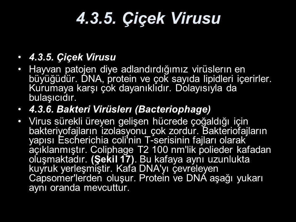 4.3.5. Çiçek Virusu Hayvan patojen diye adlandırdığımız virüslerın en büyüğüdür. DNA, protein ve çok sayıda lipidleri içerirler. Kurumaya karşı çok da
