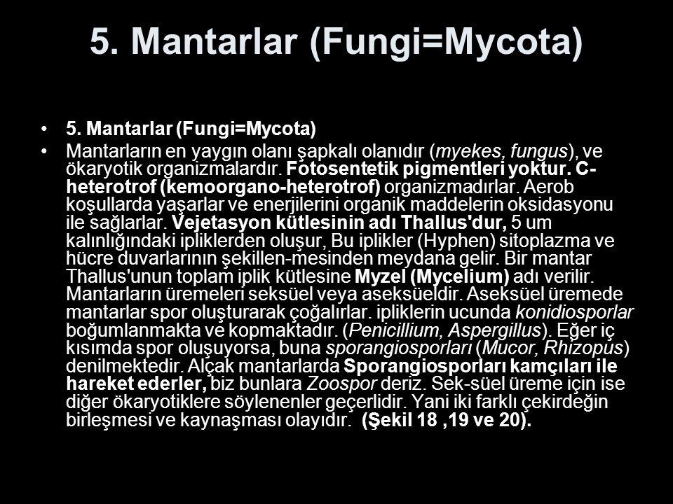 5. Mantarlar (Fungi=Mycota) Mantarların en yaygın olanı şapkalı olanıdır (myekes, fungus), ve ökaryotik organizmalardır. Fotosentetik pigmentleri yokt