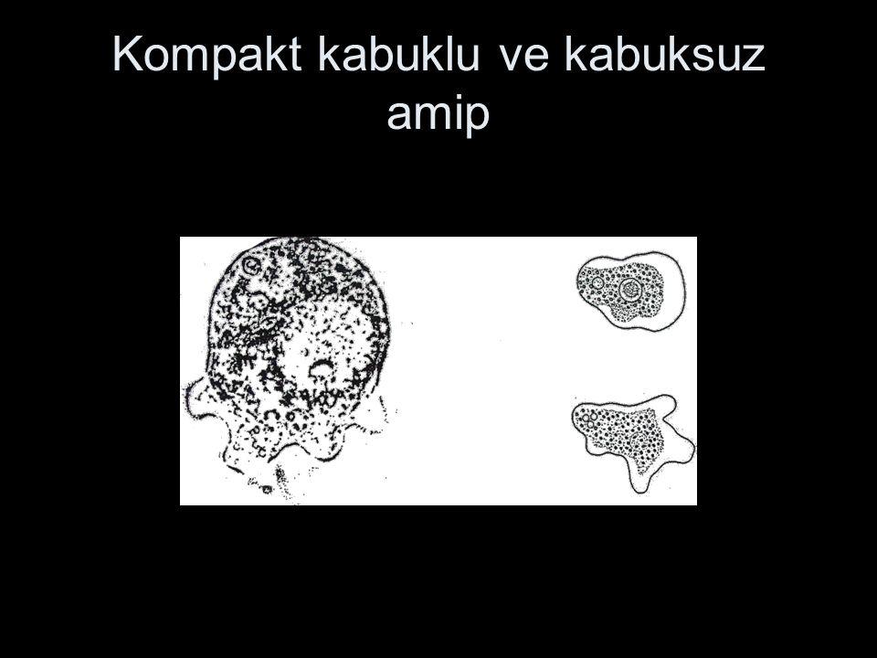Kompakt kabuklu ve kabuksuz amip